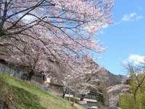 【2016年4月11撮影】桜館、満開の桜です。