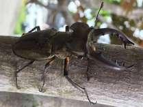 今年もクワガタ虫を捕まえることができる季節になりました 写真は当館前で捕まえたミヤマクワガタ