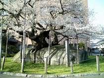 盛岡 石割桜