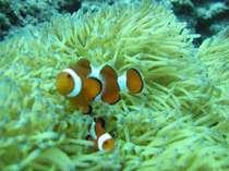 クマノミとイソギンチャク ~かわいい魚がすむ沖縄かりゆしビーチ近海