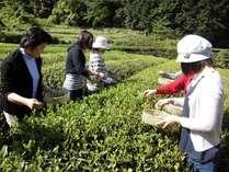 坂本龍馬・ゆかりのお茶を楽しもう!お茶摘み体験