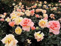 花巻のバラ園では450種6,000株をこえるバラを見る事が出来ます♪オトクな割引券付プラン!