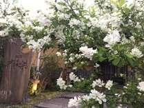 春になると玄関前に「利休梅」という純白のお花が咲きます。