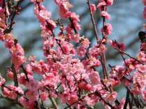 【熱海満喫直前割】18999円~の衝撃価格!リニューアルしたMOA美術館×早春のお花見◆熱海の梅園/糸川の桜