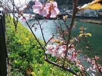 河津川の両岸に咲く、河津さくらと菜の花