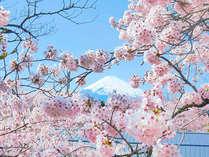 富士山と桜のコラボレーションが美しい!
