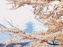 *桜と仏閣のコラボレーションをお楽しみ下さい。