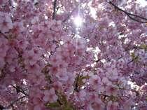 CHERRY BLOSSOMS:河津河畔の満開の河津桜・・・OFA ATUから徒歩5分。