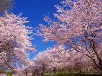 札幌の桜の開花はいつかな~☆