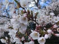 桜に癒されます