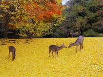 奈良公園の銀杏のじゅうたんと鹿たち