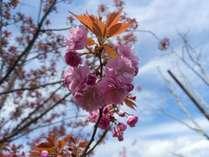 八重桜 in 多田屋玄関前