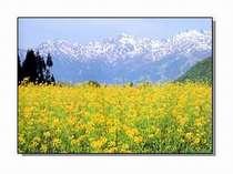 菜の花の向こうの北アルプス。
