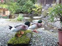 2羽のカモは仲良し♪当館露天風呂入口前の池にて