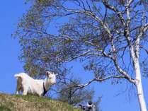 夏はヤギがお待ちしております