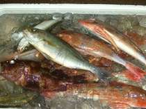 ★市場で獲れた地魚【ホウボウ/イサキ】
