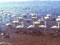 白鳥飛来地(志田浜)