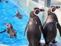 アクアスのペンギンたち※イメージ