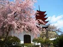 宮島の桜厳島神社周辺