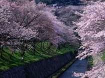 滋賀の隠れた名所琵琶湖疏水の桜