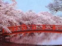 当館より車で25分の、須坂市臥竜公園の桜並木。4月中旬が見頃。日本の桜100選に登録されています。