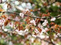 山桜が咲いて来ました。