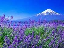 ≪ハーブフェスティバル≫富士山をバックに咲くラベンダー