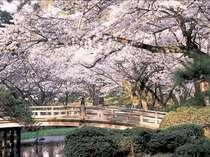 お花見はやっぱり兼六園♪花見橋の春景色は圧巻!
