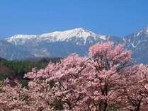 名山を背景に各所で世界に誇る桜をご覧いただけます