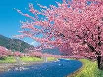 河津町の天然記念物が咲き乱れます☆