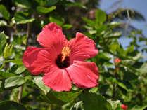 【ハイビスカス】沖縄を代表する花。花の色はポピュラーな赤から白やオレンジなど様々な種類があります。