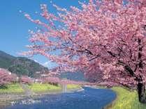 河津桜まつり 2月上旬~3月上旬開催 当館から車で約40分