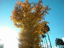 クリオン裏の大きな銀杏の木