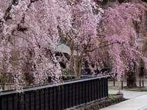 当館より車で10分みちのくの小京都「角館武家屋敷」(春)