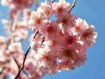 みなみの桜と菜の花祭り☆