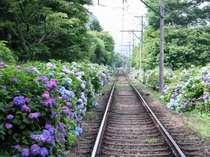 箱根登山鉄道沿いに広がる紫陽花風景。箱根湯本から約40分。景色を堪能して頂けます。