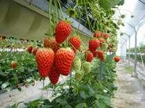 あまい苺を食べ放題♪青蓮寺いちご狩り。当館からお車で20分ほどです。冬季~春先まで。