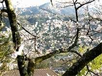 早春の山桜