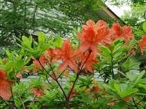 6月にはレンゲツツジが庭を彩ります。
