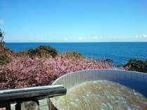富戸桜と海のコントラストが美しい絶景の「お花見露天」が見頃を迎えています!(写真は3/3撮影)