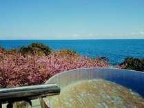 富戸桜と海のコントラストが美しい絶景の「お花見露天」が見頃を迎えています。