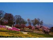 浅間山背景国際音楽村水仙と芝桜