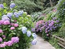 下田城山公園一帯に3千本の紫陽花が咲いています。あじさい祭り期間(6月1日~6月30日)