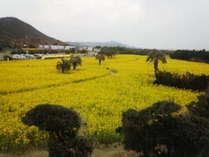 菜の花畑は・・黄色・黄色の・・じゅうたん?
