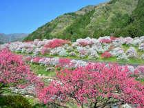 **【阿智の花桃】日本一の花桃の里・阿智村。4月中旬~5月中旬が見頃です。