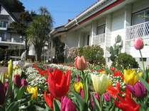 ストロベリーの花壇にはチューリップが満開!!