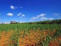 【周辺景色】サトウキビ畑ののんびりとした景色