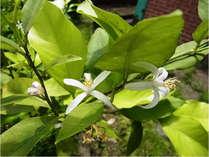自家栽培を行っております。写真は珍しい檸檬の花です♪