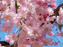 【秘島の桜】島の桜を独り占め♪瀬戸内のお花見&みたらい桜会席御膳を味わう