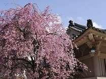 山中座 菊の湯前桜(4月中旬ごろ)